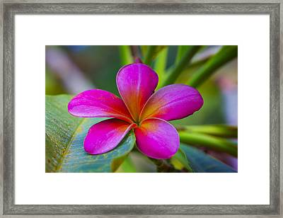 Plumeria On Leaf Framed Print
