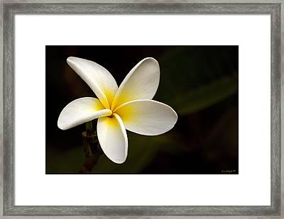 Plumeria Perfection Framed Print by Daniel G Walczyk