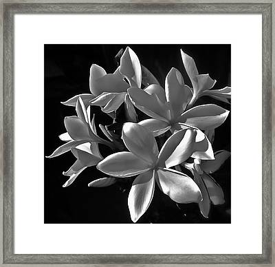 Plumeria Proper Evening Framed Print by Gwyn Newcombe