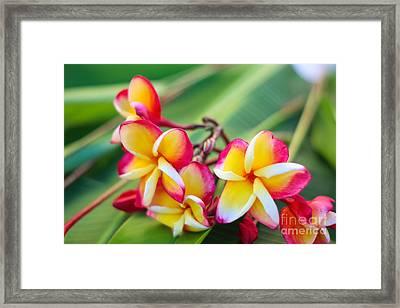 Plumeria Rainbow Framed Print