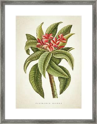 Plumeria Rubra Botanical Print Framed Print