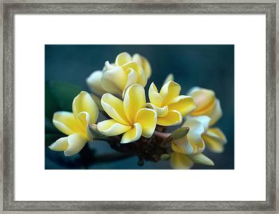 Plumerias Out Of The Blue Framed Print