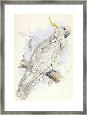 Plyctolophus Galeritus. Greater Sulphur-crested Cockatoo. Framed Print