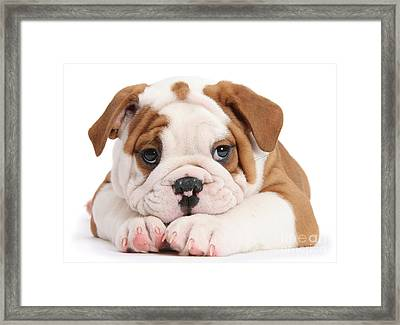 Po-faced Bulldog Framed Print