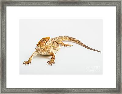 Pogona Isolated Framed Print