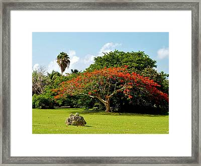 Poinciana Framed Print by Amar Sheow