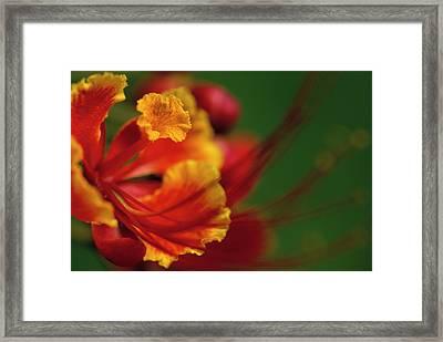 Poinciana Framed Print by Eggers Photography