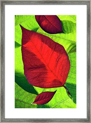Poinsettia - D007347 Framed Print by Daniel Dempster