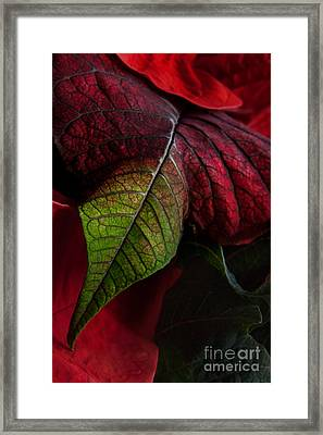 Poinsettia Framed Print by Ann Garrett