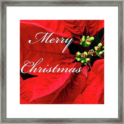 Poinsettia  Framed Print