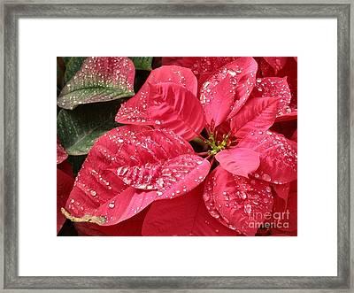 Poinsettia Christmas Dew Framed Print by Kathy Daxon