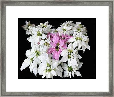 Poinsettia Display Framed Print by Dennis Buckman
