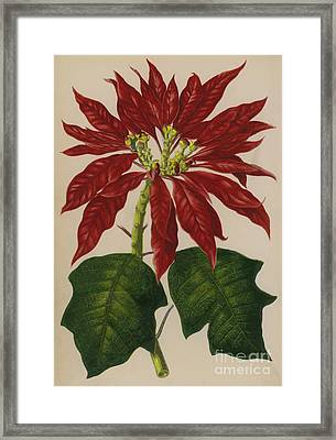 Poinsettia Framed Print by English School