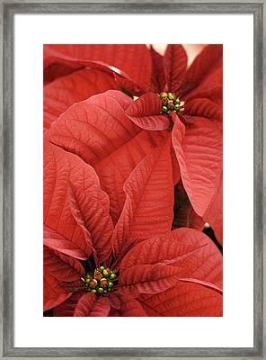 Poinsettia (euphorbia Pulcherrima) Framed Print