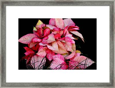 Poinsettia Framed Print by Lyle  Huisken