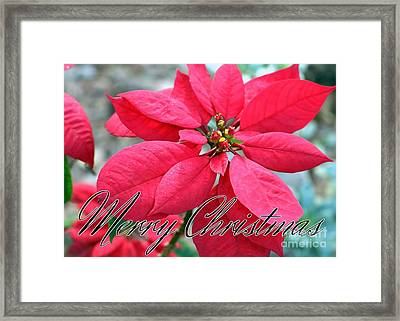 Poinsettia Merry Christmas Framed Print by Diann Fisher