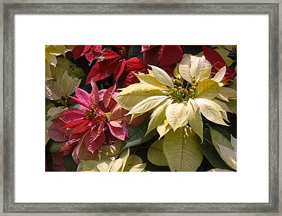Poinsettias At Doi Tung Palace Framed Print by Anne Keiser