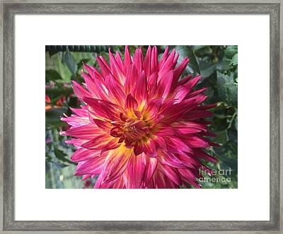 Pointed Dahlia Framed Print