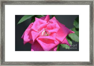 Pointed Petal Pink Rose Framed Print by Ruth Housley