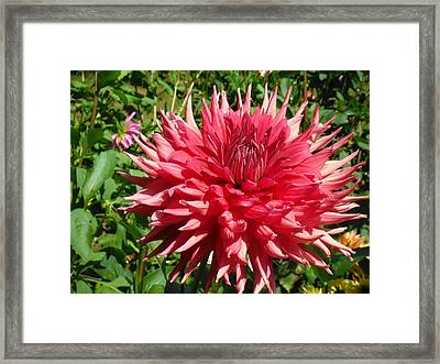 Pointed Pink Dahlia  Framed Print