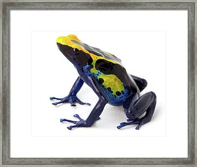 Poison Arrow Frog - Dendrobates Tinctorius Framed Print