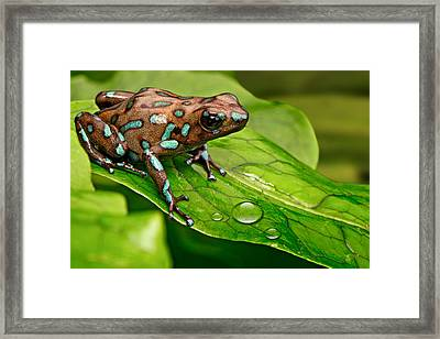 poison art frog Panama Framed Print by Dirk Ercken