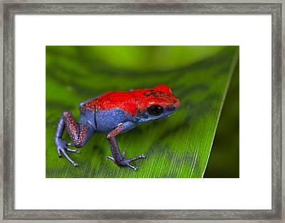 poison dart frog Escudo Framed Print