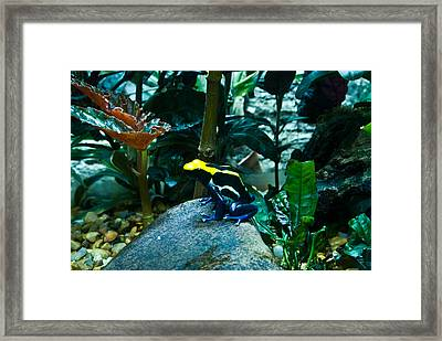 Poison Dart Frog Poised For Leap Framed Print