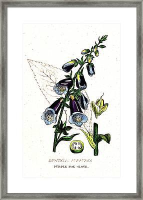Poisonous Purple Foxglove, Illustration Framed Print
