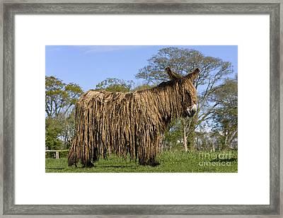 Poitou Donkey Framed Print