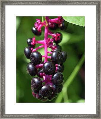 Pokeweed Cluster Framed Print