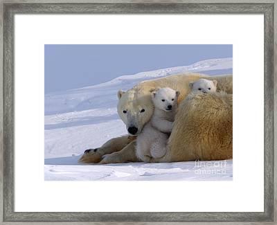 Polar Bear And Cubs Framed Print by Jean-Louis Klein & Marie-Luce Hubert
