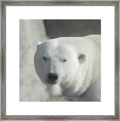 Polar Bear Framed Print by Curtis Gibson