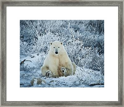 Polar Bear In A Frosty World Framed Print by Paulette Sinclair