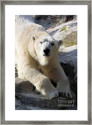 Polar Bear Framed Print by Karol Livote
