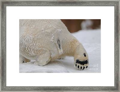 Polar Bear Paw Framed Print by David & Micha Sheldon