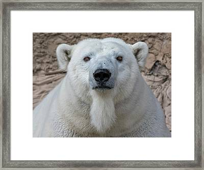 Polar Bear Portrait  Framed Print