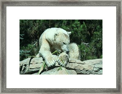 Polar Bear Framed Print by Randy Morehouse