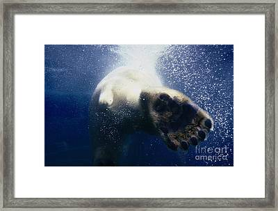 Polar Bear Swimming Away Framed Print by John W. Warden