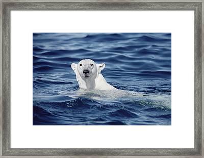 Polar Bear Swimming Baffin Island Canada Framed Print