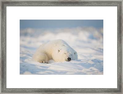 Polar Bear  Ursus Maritimus , Young Framed Print