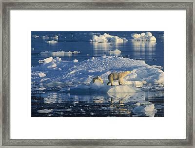 Polar Bear Ursus Maritimus Adult Framed Print by Rinie Van Meurs