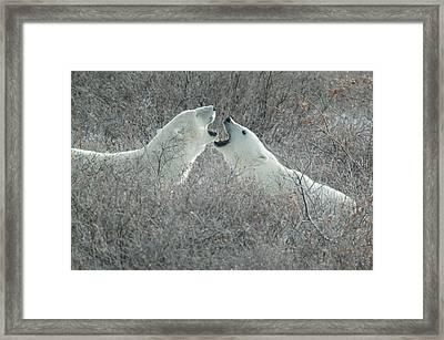 Polar Bears Jawing Framed Print
