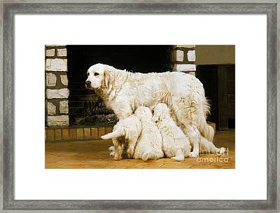 Polish Tatra Sheepdog Puppies Suckling Framed Print by Gerard Lacz