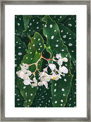 Polka Dot Begonia Framed Print