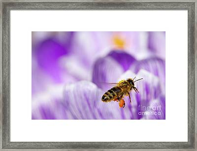 Pollen Collector Framed Print by Sharon Talson