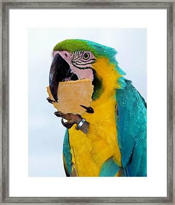 Polly Wanna Cracker Framed Print by Karen Wiles