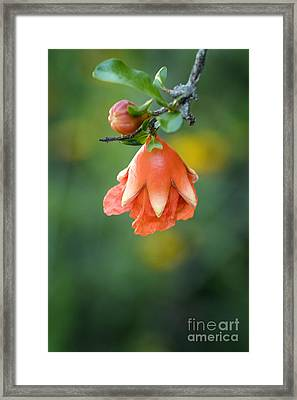 Pomegranate  Bud 2 Framed Print by Jeannie Burleson