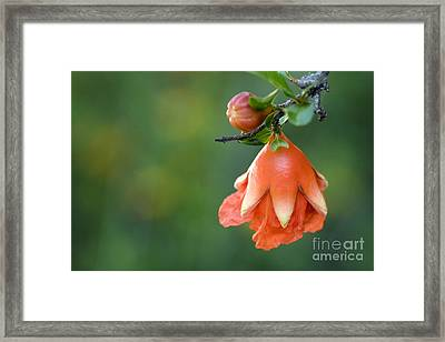 Pomegranate Bud Framed Print by Jeannie Burleson