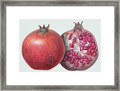Pomegranate Framed Print by Margaret Ann Eden